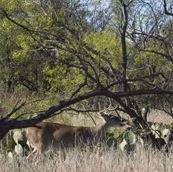 White-tailed deer in the brush